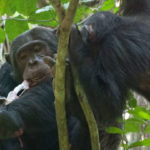 Some Chimps Have A Very Gruesome Taste In Food