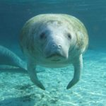 You're likely already a manatee fan. If not, here are 22 reasons to become one.