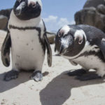 African Penguins Are Dying Out Thanks To Climate Change