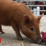 Search on for dozen piglet homes