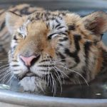 These 8 unbelievable photos demonstrate a rescued tiger cub's journey back to health.