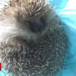 Heavy hedgehog to have hydrotherapy