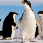 Adlie Penguins Have An Appetite For Jellyfish With Giant Gonads