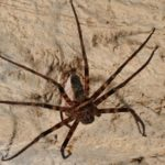 Spidey-strength: Aussie arachnid carts off mouse-sized snack