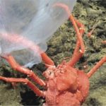 This mysterious, deep-sea jellyfish looks like the ghost of an foreigner
