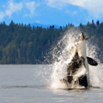 "Dolphins Know When Killer Whales Are On The Hunt By Listening Out For Their ""Death Screams"""