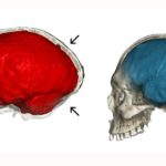 Neanderthal genes could explain the shape of our skulls, study determines