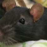 Hundreds Of Rat Formerly Living With Woman In Van Are Up For Adoption