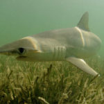 Sharks That Eat Their Veggies Discovered Off The USA